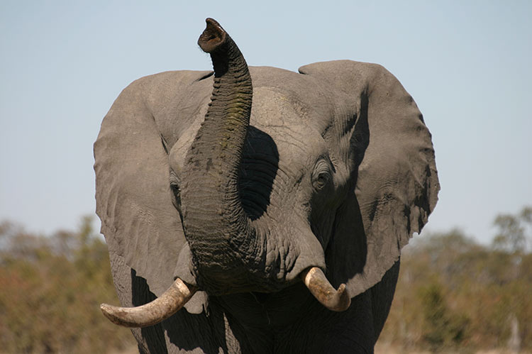 Elephant with trunk up in the Savuti